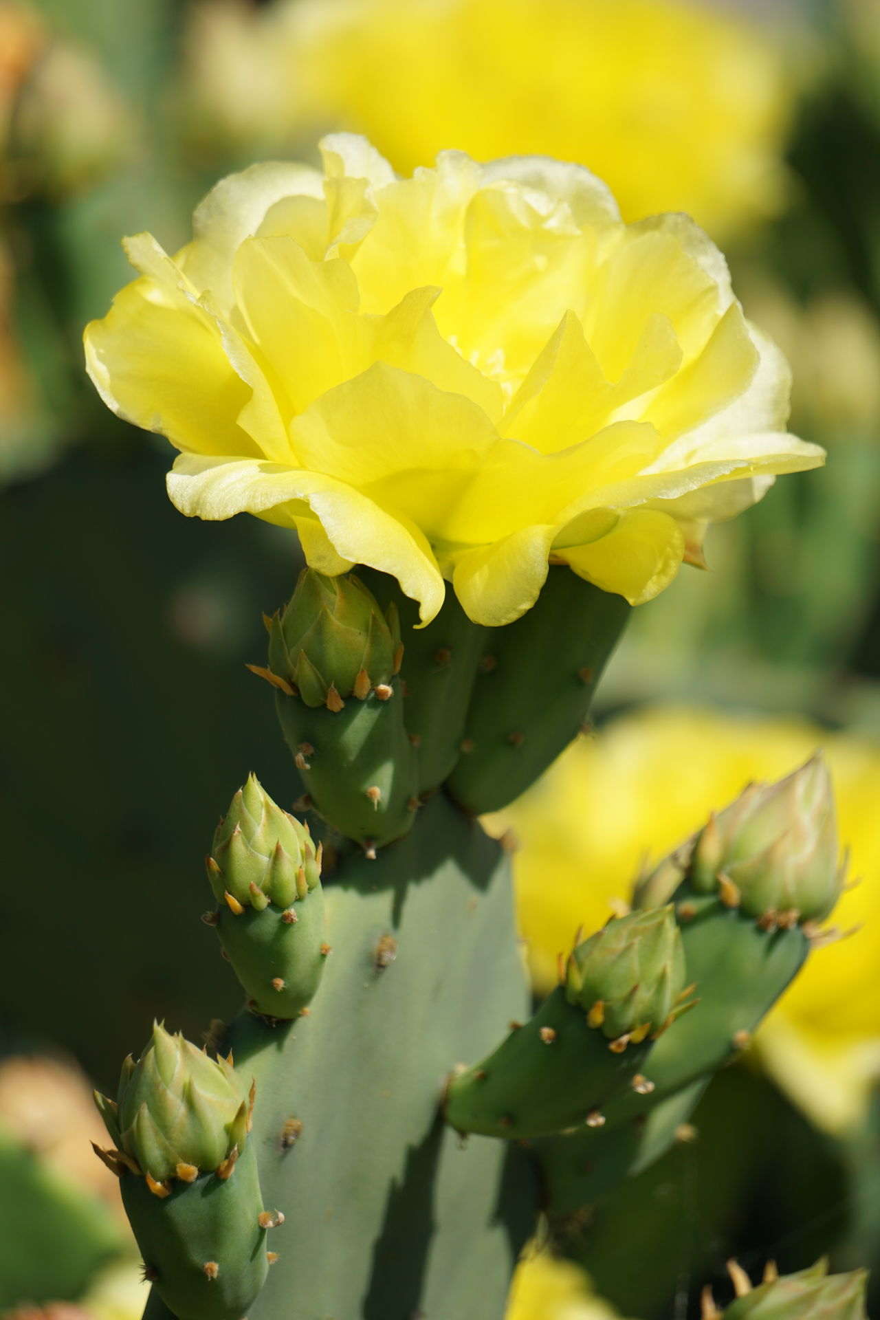 Flower Nature Plant Beauty In Nature Close-up Yellow Petal Fragility Outdoors Growth Focus On Foreground Freshness Uncultivated No People Wildflower Day Flower Head Prickly Pear Cactus Flowering Cactus Sunlit Beauty In Nature Yellow Cactus Flower