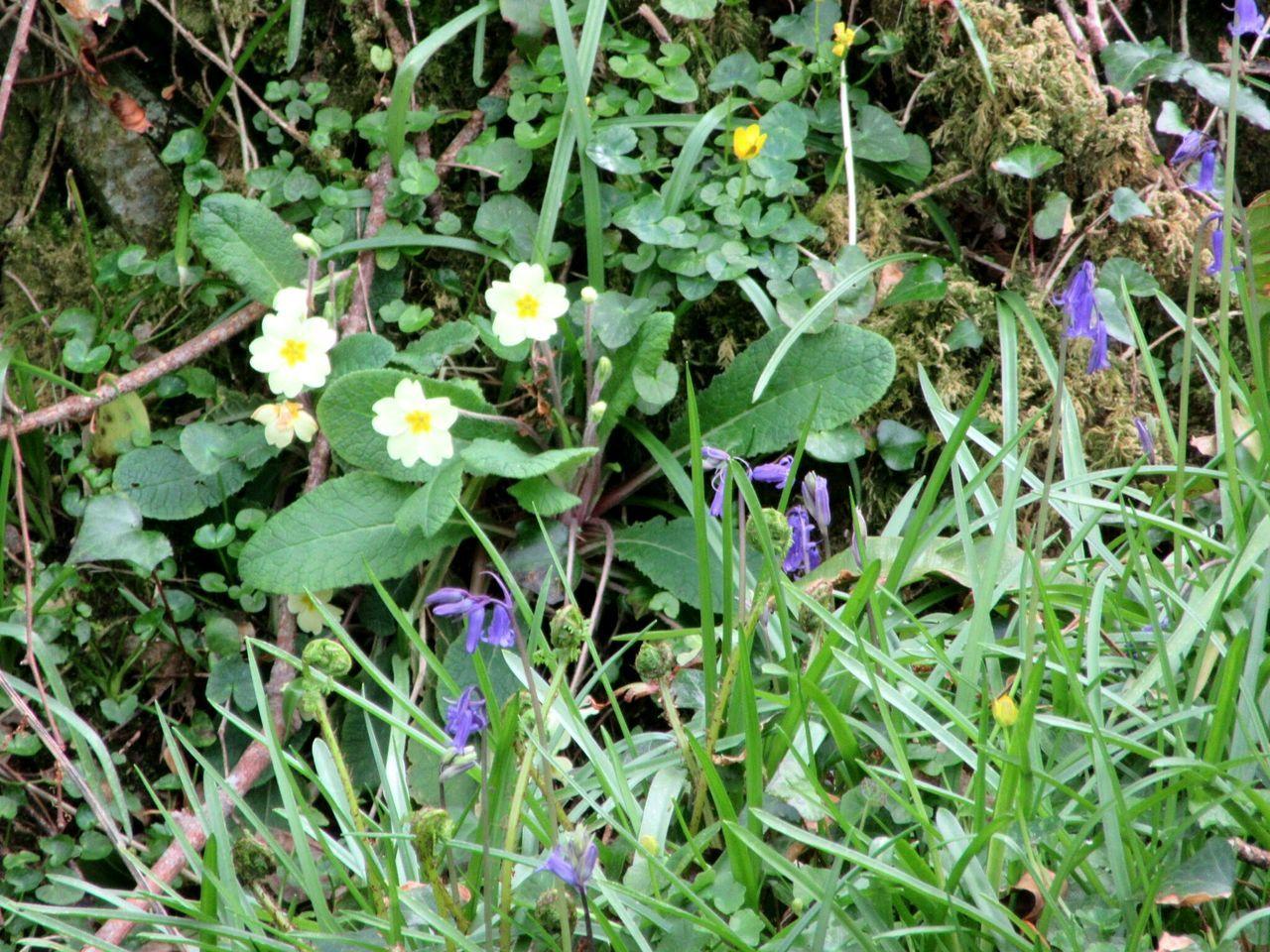 Spring flowers in the woods Spring Flowers Primrose Bluebells Moss WoodLand Mizen Peninsula West Cork Wildatlanticway Ireland