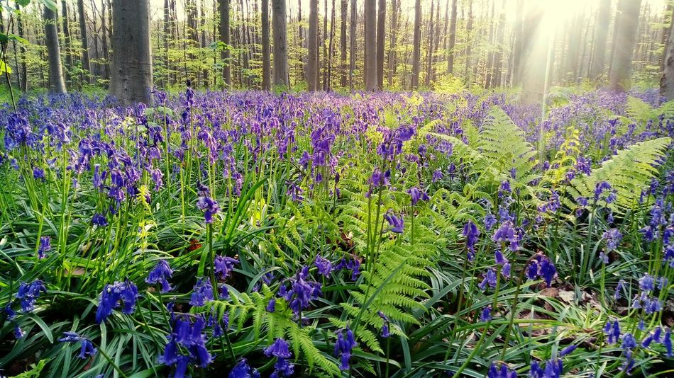 Flower Nature Purple Growth Beauty In Nature No People Tree Flower Head Green Color Outdoors Plant Forest Freshness Fragility Day Hallerbos