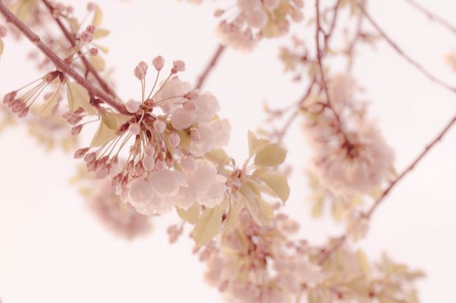 Yorkshire in bloom Blossom Cherry Blossoms Pink Spring Springtime Showcase April