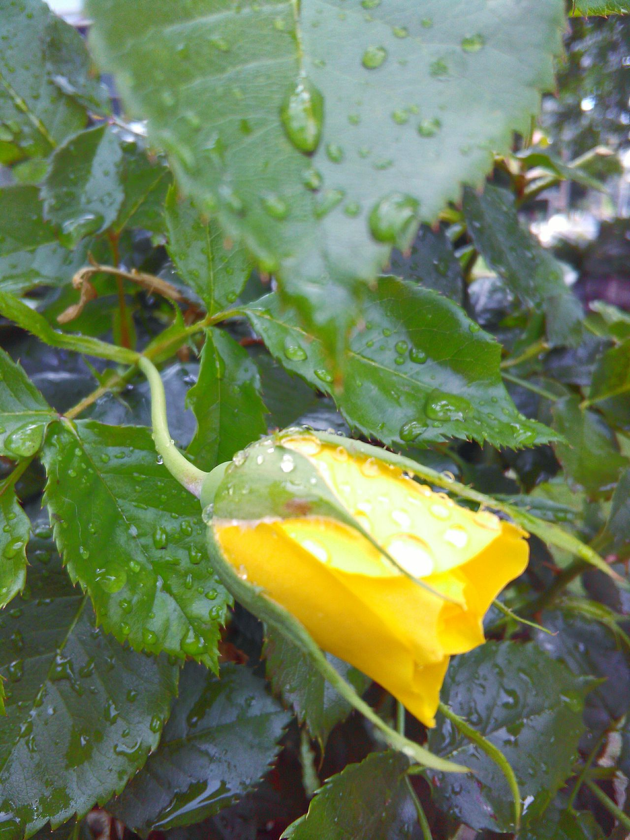 Mother Nature Leaves🌿 Rain Drops On Leaves Rain Drops On Flowers My Photography Flowers,Plants & Garden Rainy Days☔ Rain Drops On Petals Flower Porn Rain Drops On Rose Depth Of Field