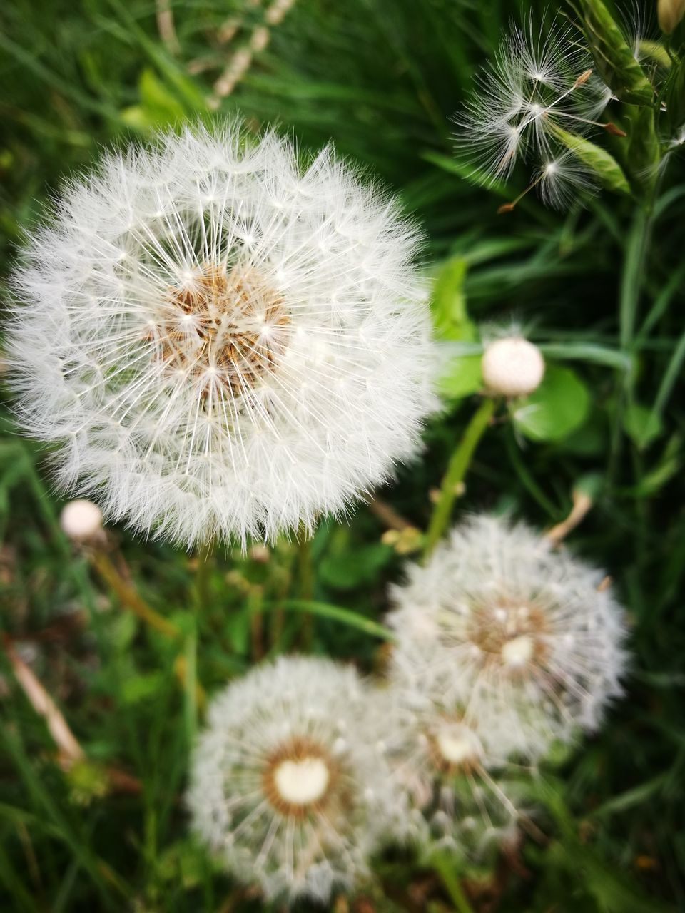 dandelion, flower, nature, growth, dandelion seed, softness, fragility, plant, flower head, uncultivated, white color, wildflower, freshness, delicate, beauty in nature, seed, close-up, no people, outdoors, day