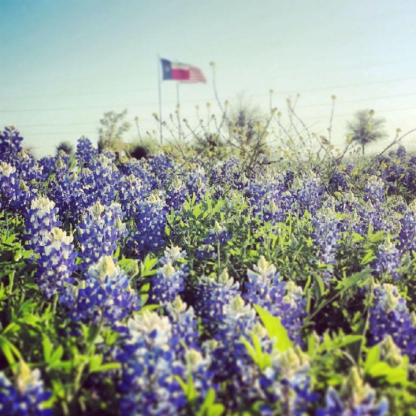 Texas Bluebonnets Blue Bonnets Texas Flag Texas Hill Country
