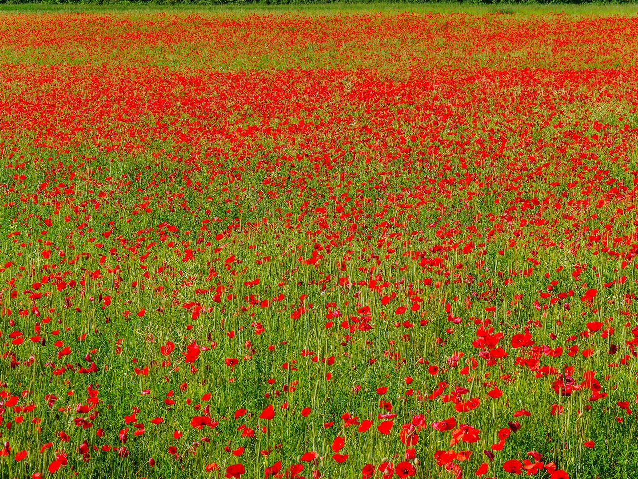 Poppies Red Poppies  Poppy Flowers Flowers Spring Spring Flowers Landscape Landscape_Collection Landscapes France Nature_collection EyeEm Nature Lover Eye4photography  Nature Naturelovers Nature Photography Beauty In Nature Outdoors Scenics Poppies In Bloom In Bloom Growth Growing Flowerporn Flower Collection