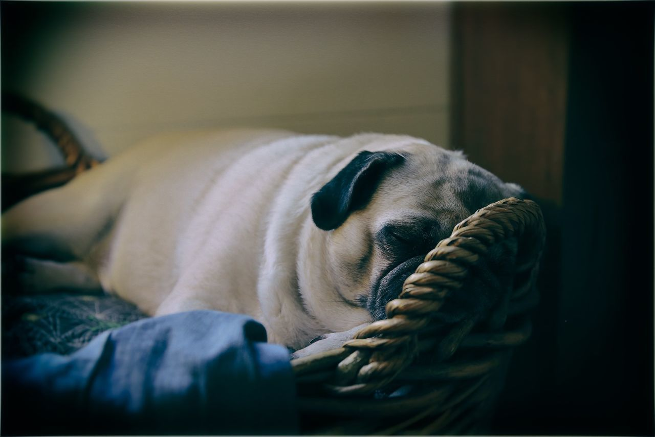 Beautiful stock photos of pugs, Animal, Animal Themes, Basket, Close-Up