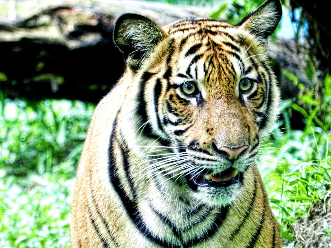 Throwback to my visit to The Zoo Nikon D5200 Walking Around Zoo Photo Shooting From A Distance Malayantiger Awesome_nature_shots Animal_collection Animal Photography Tiger Tigers Tiger Face Predator Predators King Of The Jungle EyeEm Malaysia