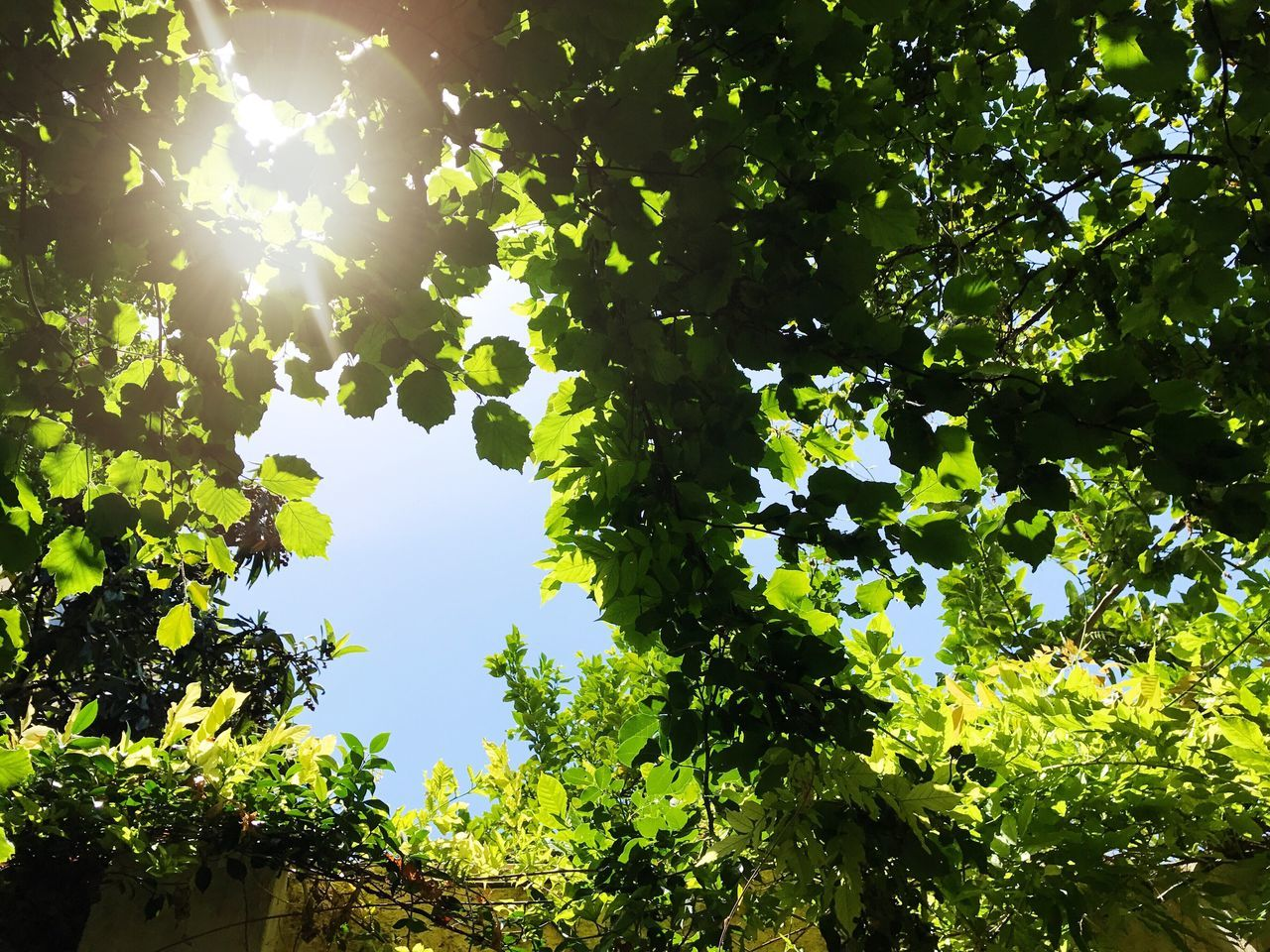 174/365 Tree Low Angle View Leaf Green Color Nature Growth Beauty In Nature Sunlight Sun Day Outdoors Branch No People Fruit Freshness Sky Close-up