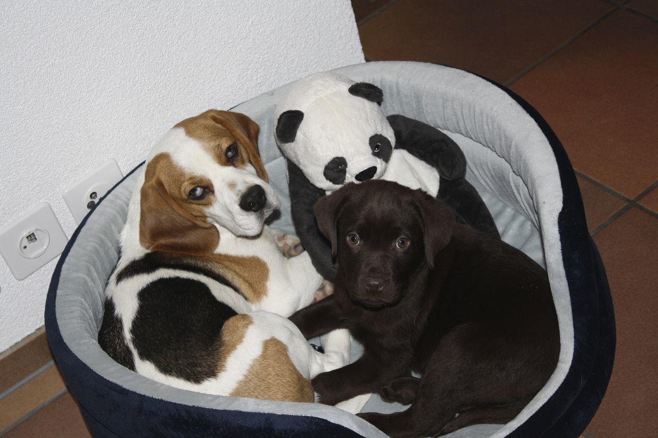Beautiful stock photos of panda, Adorable, Animal, Black, Canine
