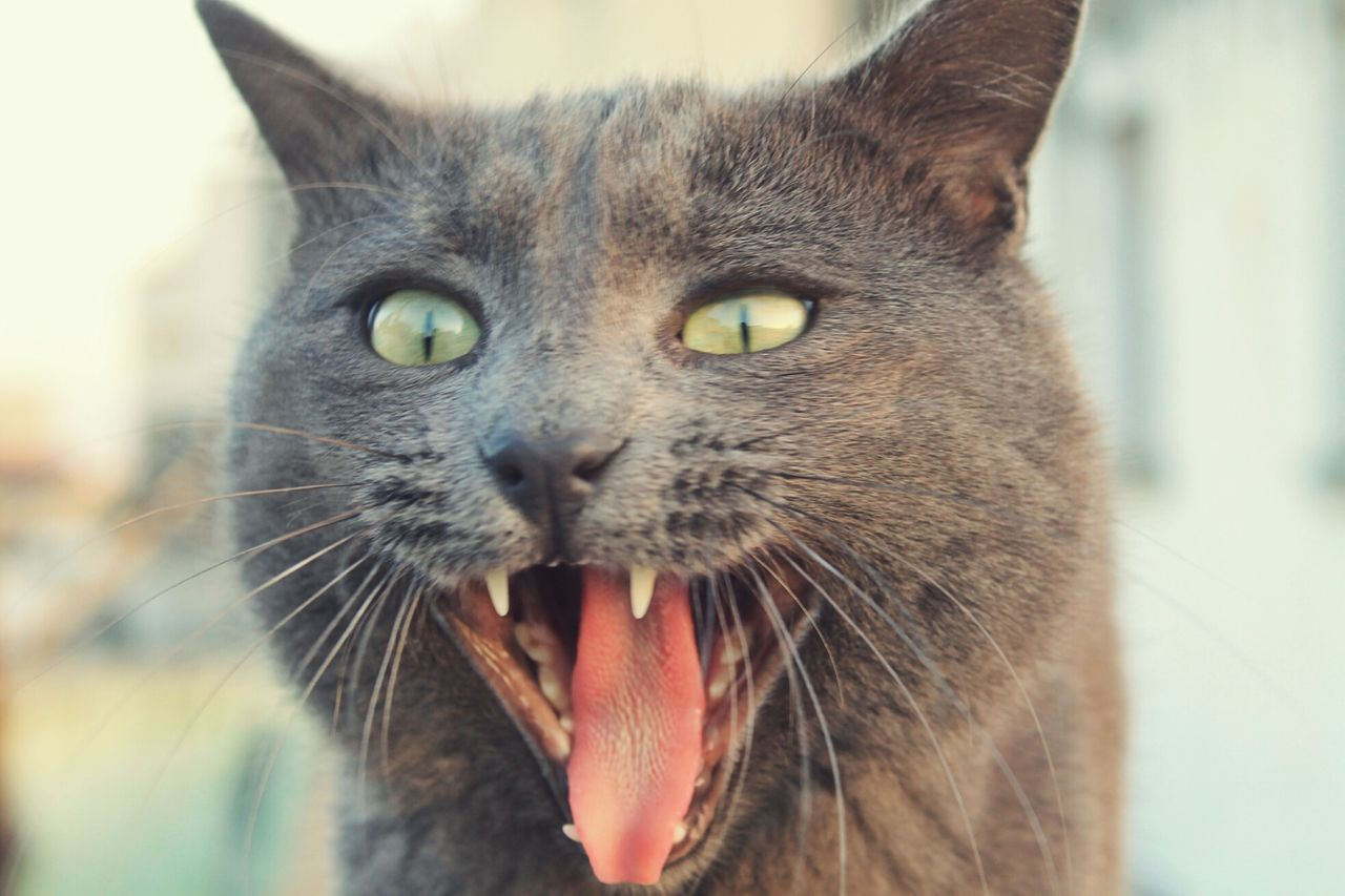 Amazing shot of my black cat by my camera, he looks like a vampire cat 😺 One Animal Animal Themes Domestic Animals Pets Yellow Eyes No People Close-up Domestic Cat Whisker Bestsellers Nature Bestshot EyeEm Best Shots Cat EyeEm Eyemmarket Photography Black