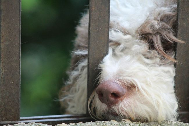 Lagotto Romagnolo LaGottoRomagnolo Dog Dog Portrait Dog Sleeping  Dog Lounging Long Hair Dog Dog Resting Cute Pets Cute Dog  Behind The Gate