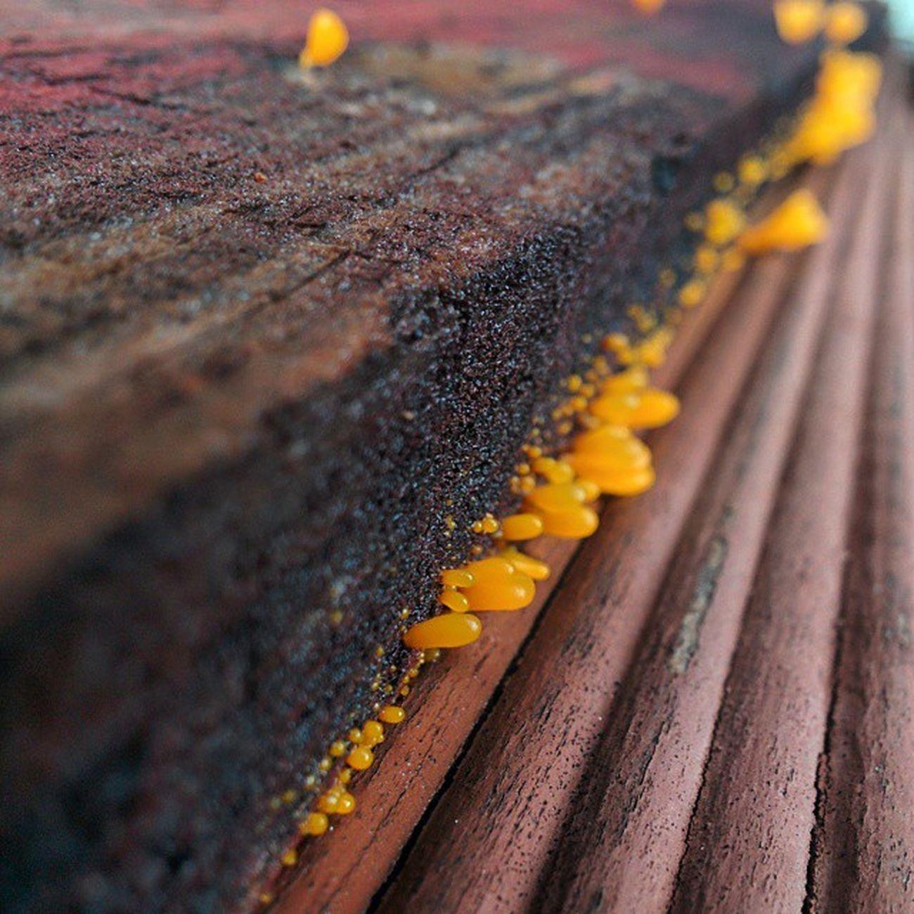 Fungi Fungus Yellow Notsurewhatitis Wood Woodgrain Closeup Nexus5 Hdrplus Nofilter