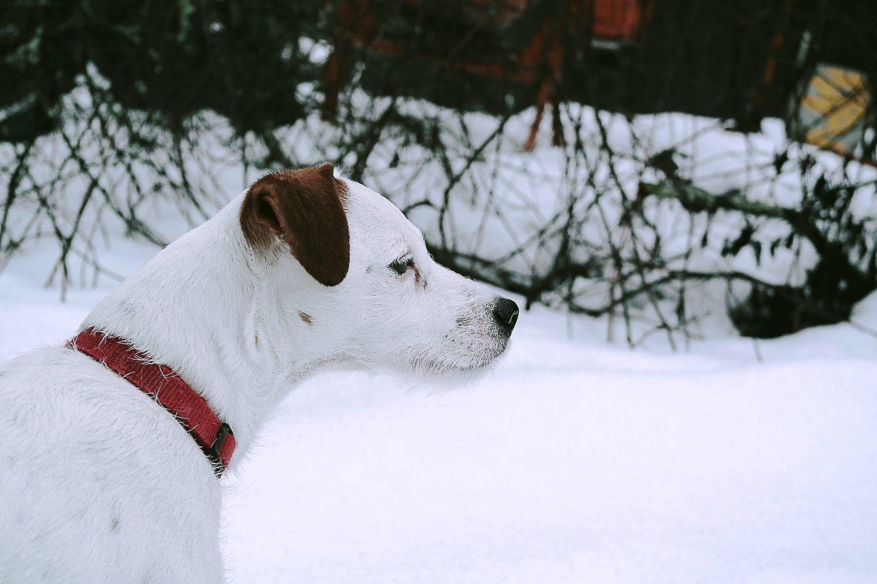 Daphne Parson Russell Terrier Parsonsjackrussell Parsonrusellterrier Dog Dogs Animal Animals Snow Winter Whitedog Sweden Friendly Showcase: February