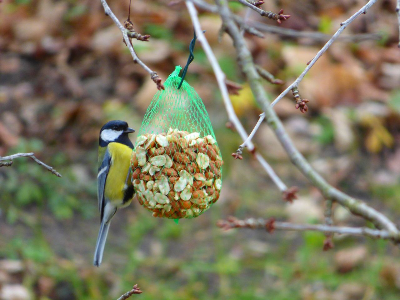 Close-Up Of Great Tit Perching On Feeder