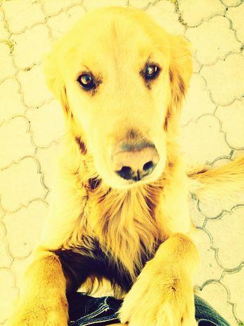 Golden Retriever Cute Pets Dog My Pet