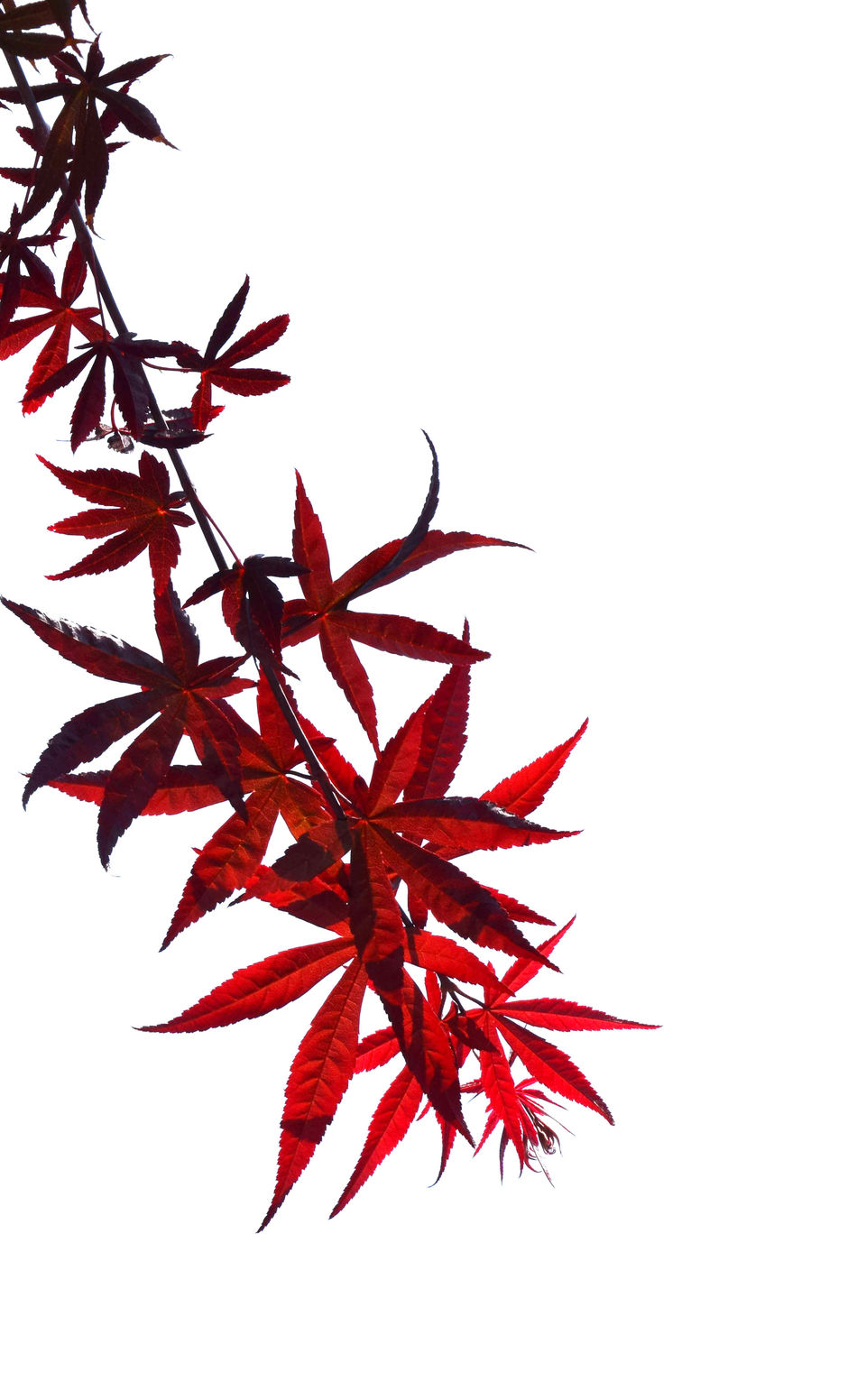 Autumn Beauty In Nature Change Clear Sky Close-up Copy Space Day Leaf Maple Maple Leaf Maple Tree Nature No People Outdoors Red Studio Shot White Background