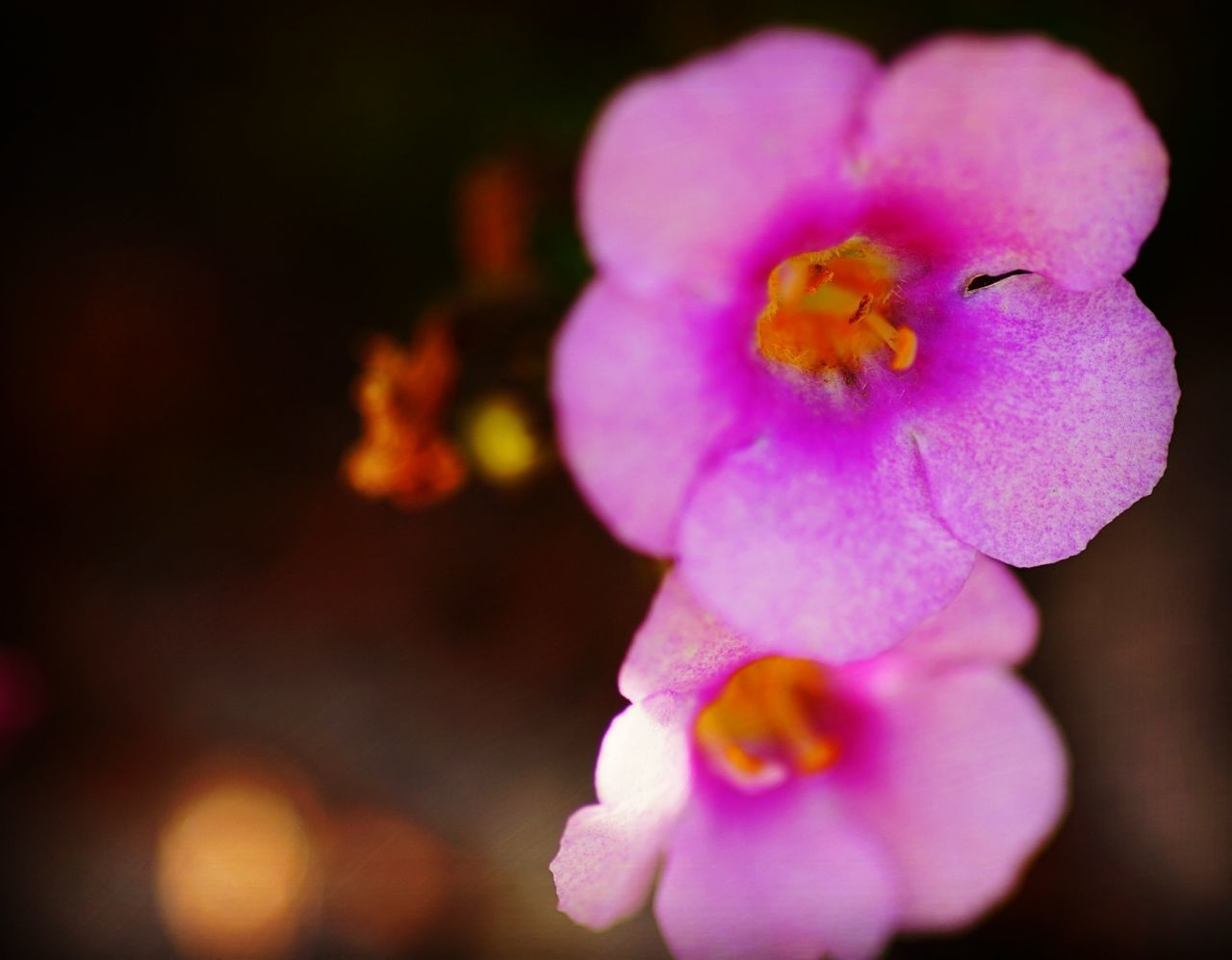 flower, petal, fragility, beauty in nature, flower head, nature, close-up, freshness, no people, plant, growth, outdoors, blooming, day
