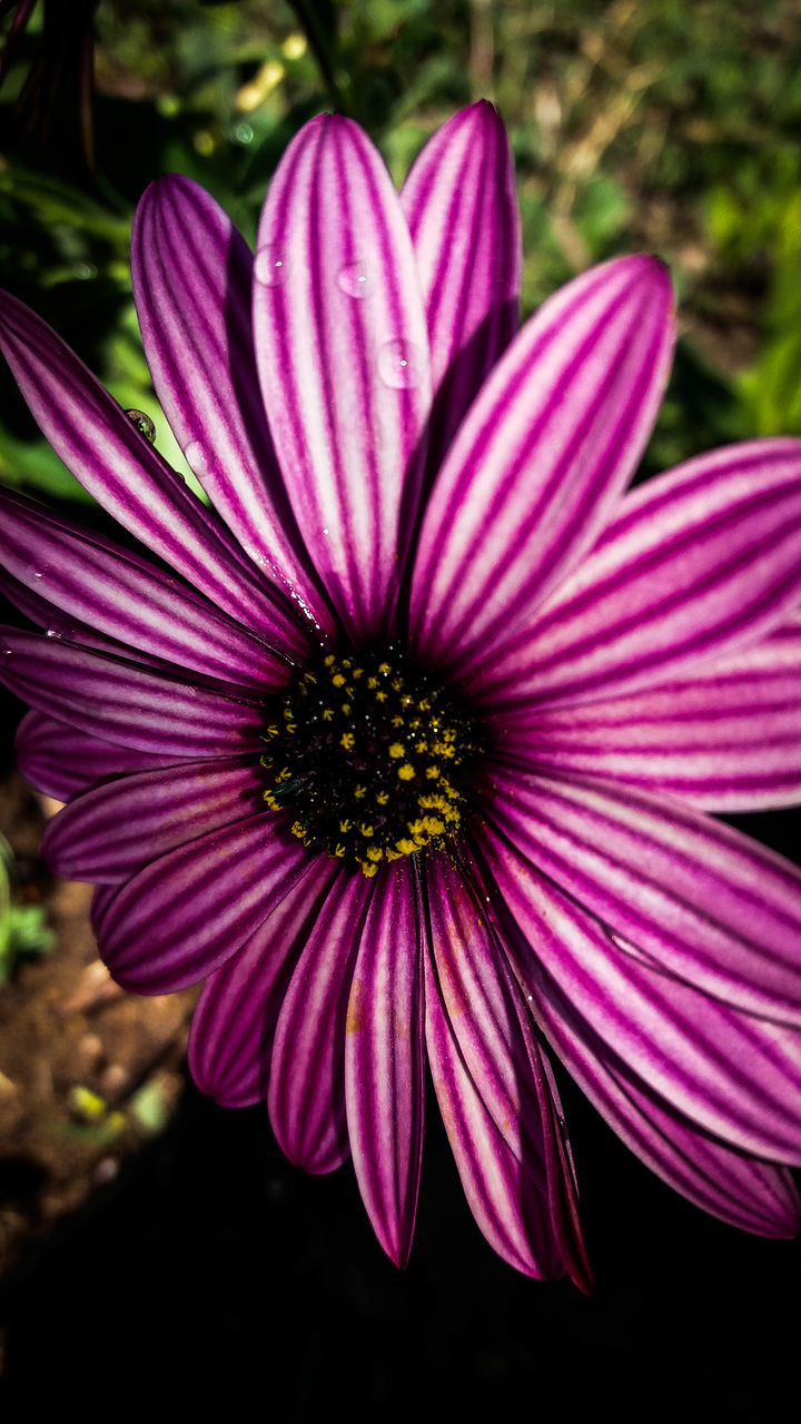 flower, petal, fragility, freshness, growth, flower head, purple, beauty in nature, nature, day, pollen, blooming, plant, outdoors, close-up, no people, focus on foreground, pink color, osteospermum, eastern purple coneflower