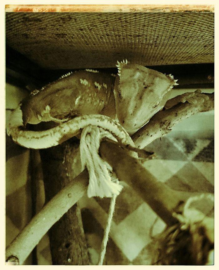 Reptiles Reptilien Crested Gecko Kronengecko Gecko Gekko Haustier Pets Neukaledonien Relaxing