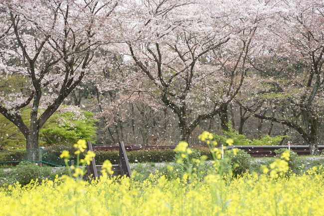 Cherry Blossom Field Mustard SakuraFubuki Nature_collection EyeEm Nature Lover EyeEm Best Shots