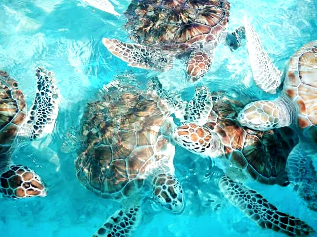 Sea Turtle Water Mexico Isla Mujeres Sea Life Ocean Crystal Clear Turtle Flippers