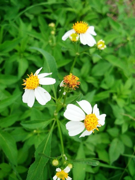 Plants Flowers & Plants Flowers_collection White Flower Natural Beauty Thai Flowers Flowers Flowers, Nature And Beauty