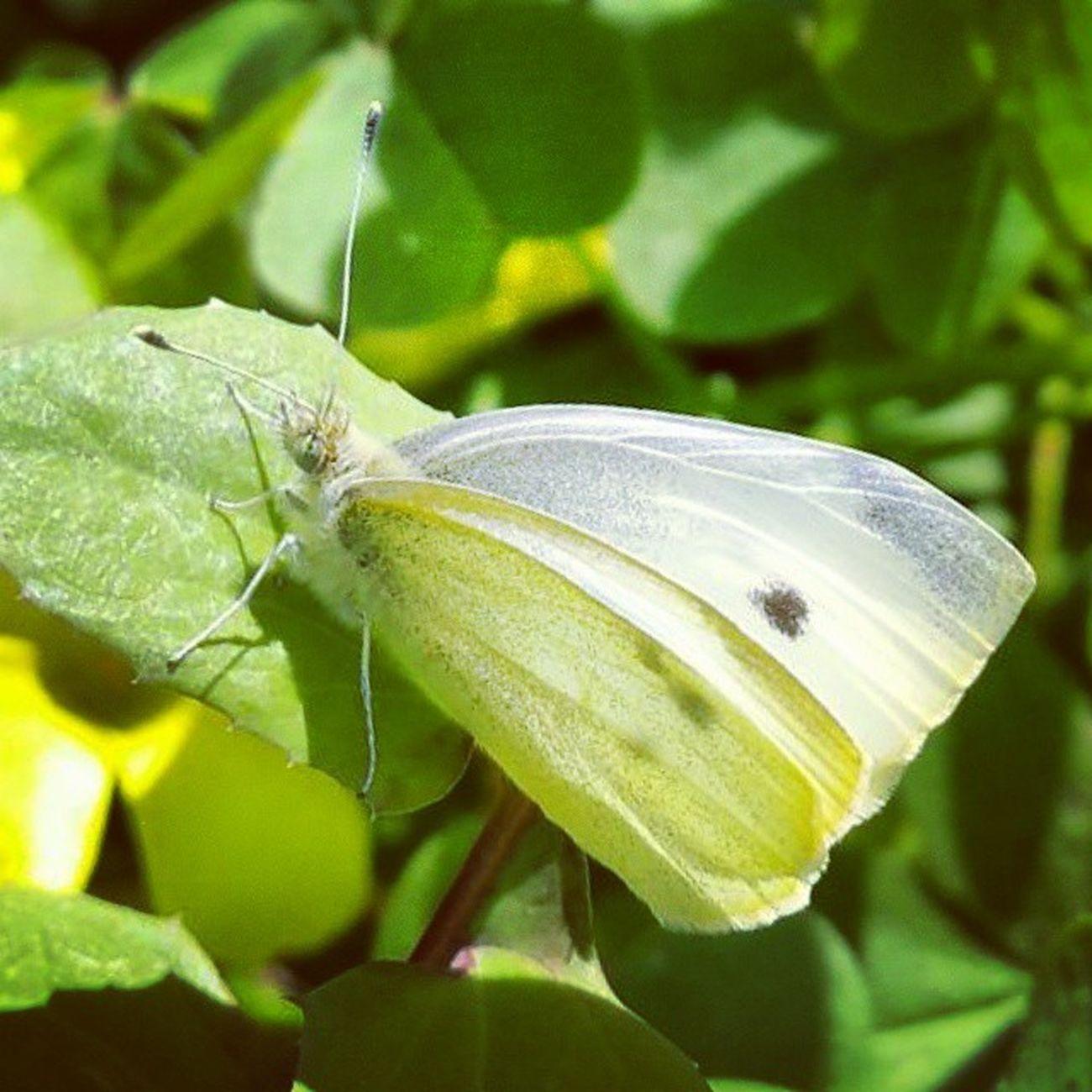Farfalla Butterfly White Macro Macrophotography Samsung Galaxy Note4 Macro_perfection Macrogardner