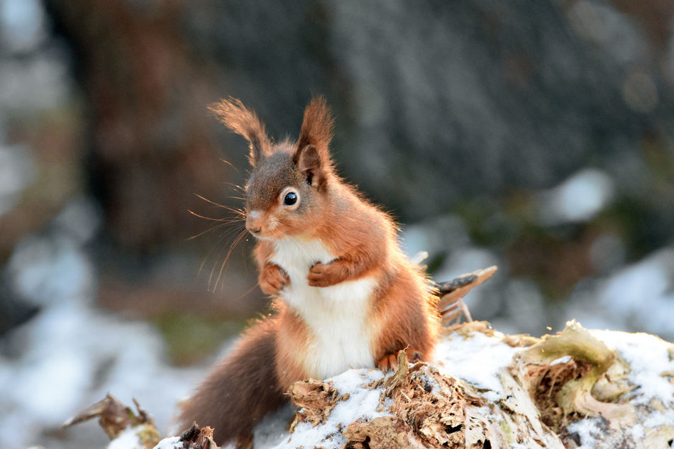 Beautiful stock photos of eichhörnchen, one animal, animal themes, animals in the wild, squirrel