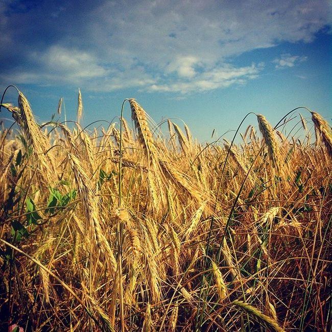 Russia Summer Sky Bluesky Landscape Sun Sunday Россия поле русскоеполе просторы небо небоголубое лето Хорошо красиво Green облака облако Clouds Skyscraper Skyporn пшеница пшеницаколосится хлебушек