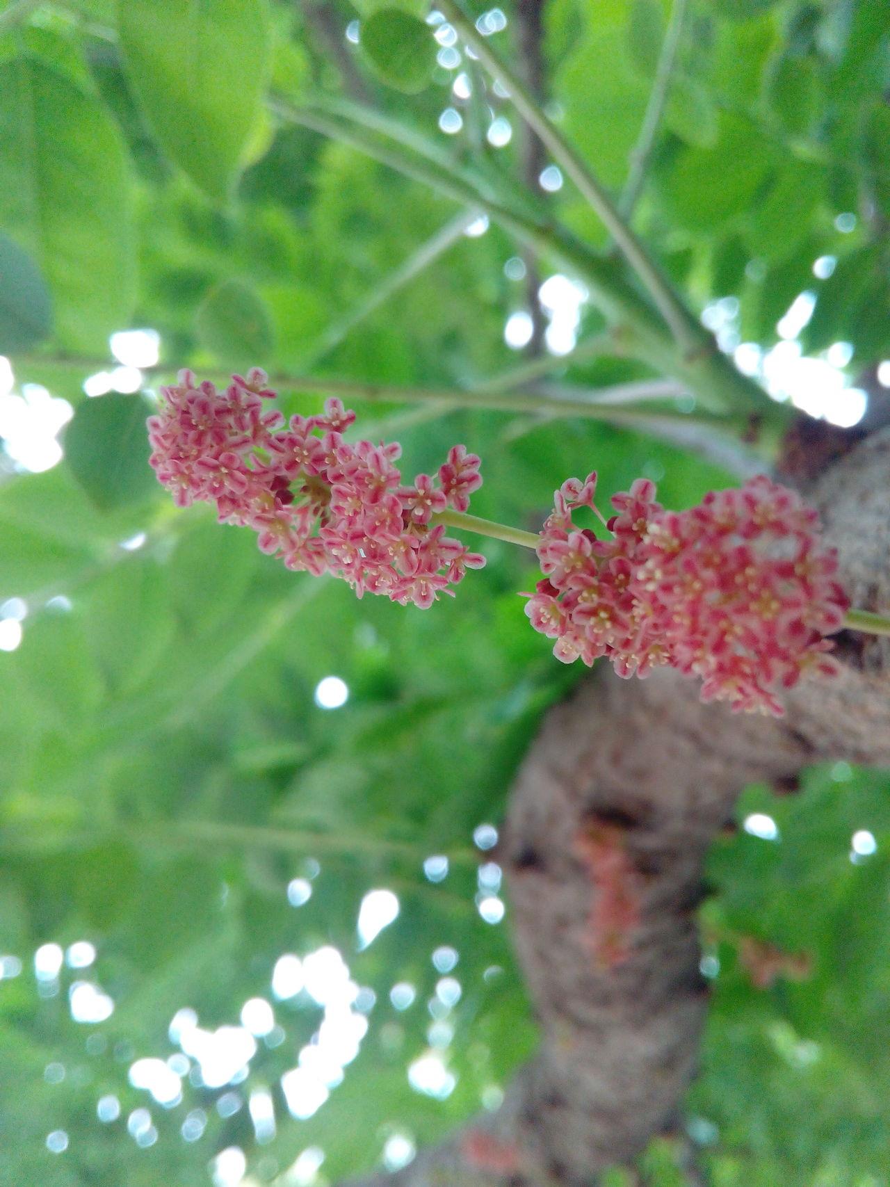 Amlaplant AMLA Flower Flora Macro Mobilephotography