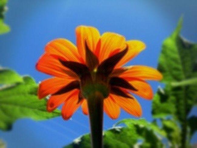 Mexican Sunflowers Sunflower Oklahoma Nature EyeEm Best Shots - Nature Eye Em Nature Lover EyeEm Nature Lover Taking Photos Flowers My Garden My Garden @my Home EyeEm Flower Tulsa, Oklahoma Home Is