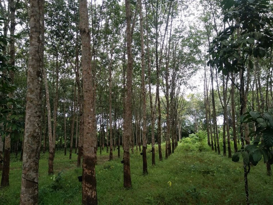 Rubber Trees Growth Green Color Nature Tree Trunk Beauty In Nature No People Outdoors Grass