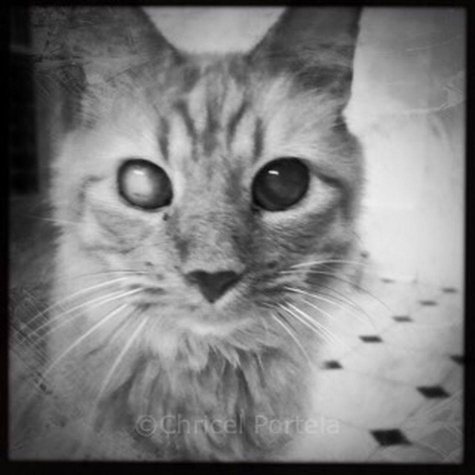 Feline Noir Et Blanc Blackandwhite Close-up Domestic Cat Bijoucep