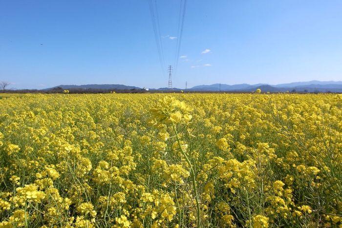 Ricoh GRD III Spring Flowers Landscape 徳島県 Japan Canola