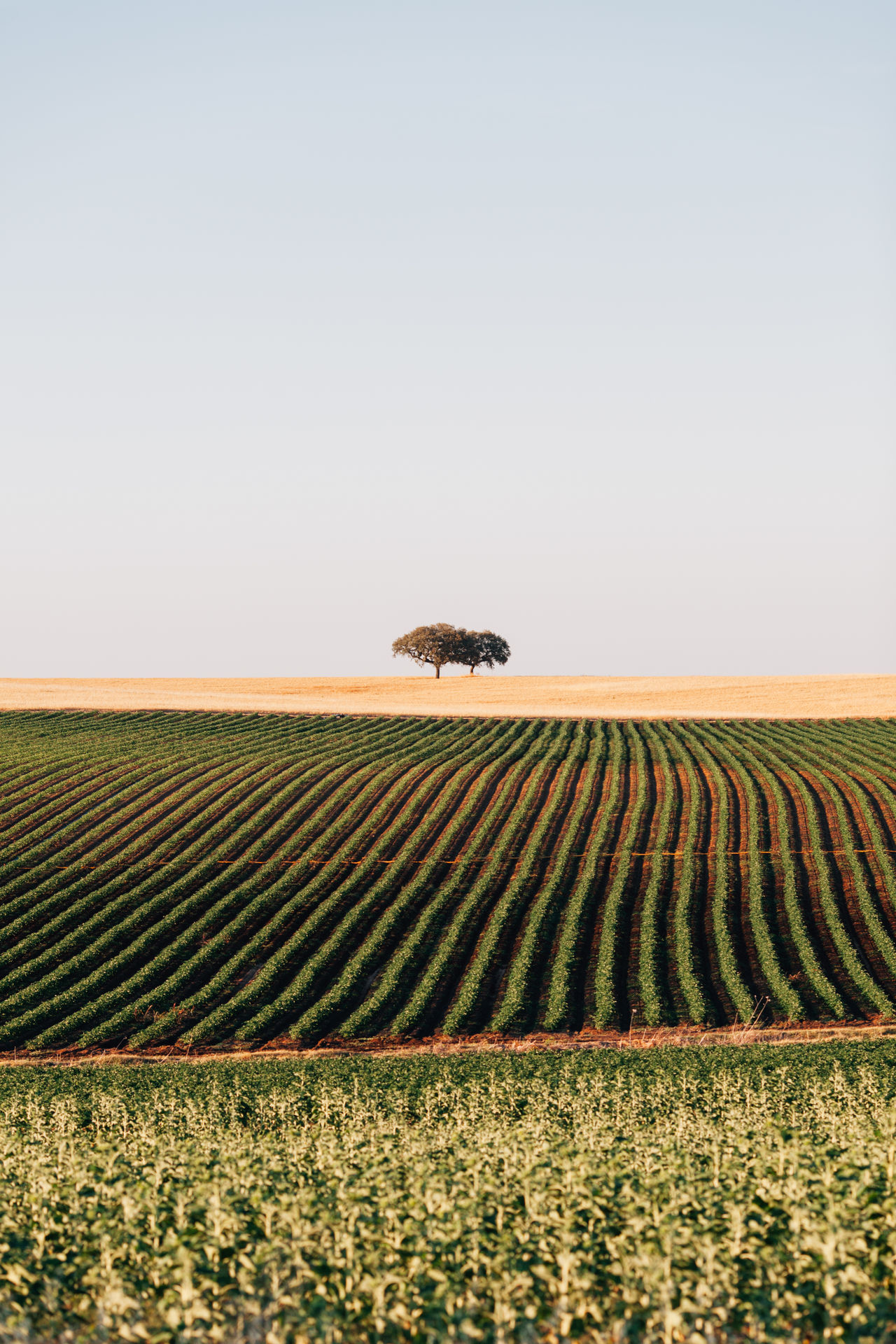 Agriculture Alentejo Alone Beauty In Nature Calmness Clear Sky Crop  Field Field Landscape Lines Lines And Shapes Nature No People Outdoors Portugal Rural Scene Scenics Sky Summer Tranquility Tree The Great Outdoors - 2017 EyeEm Awards
