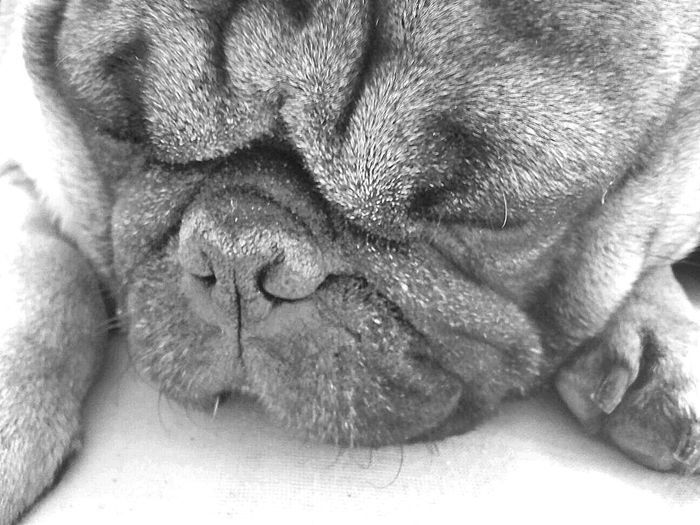 Animal Body Part Animal Themes Black & White Black And White Black And White Dog Black And White Photography Close-up Day Dog Domestic Animals Indoors  Lying Down Mammal No People One Animal Pet Pet Therapy Pets Pug Pug Sleeping Sleeping Sweet Dreams EyeEmNewHere Pet Portraits