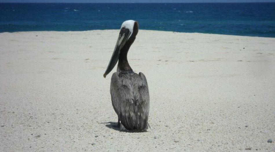 Beach Pellican Perfectshoot Enjoyingtheview AnimalinNature Feathers Amazingcolors Colorful Animallover Cabo San Lucas Mexico