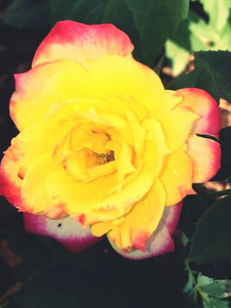 Love The Colours My Favourite Things Chameleon Chameleon Plant Rose - Flower Yellow Rose Chameleon Rose Vibrant Colors Pretty Rose  Pastel Power