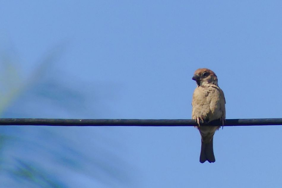 I Saw a Bird Perched on The Wire Afternoon Animal Themes Animal Wildlife Animals In The Wild Bird Clear Sky Day Evening Low Angle View Morning Nature No People One Animal Outdoors Sky Sparrow Sparrow Bird Wire นก นกกระจอก Long Goodbye