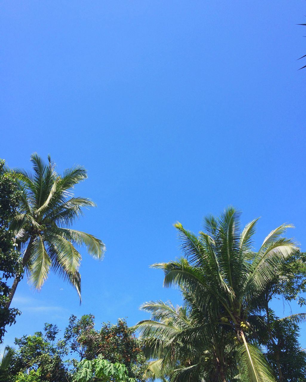 palm tree, clear sky, tree, nature, blue, low angle view, growth, day, no people, beauty in nature, outdoors, scenics, sky
