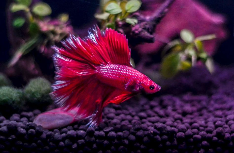 Betta Fish Beauty In Nature Close-up Bettafish Bettacommunity Bettasofinstagram Bettasiamesefish Betta Red Bettasplendens Betta Lovers