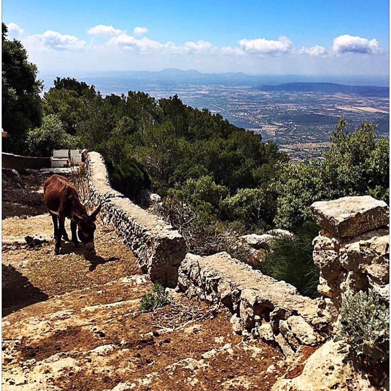 Donkeys at Mallorca