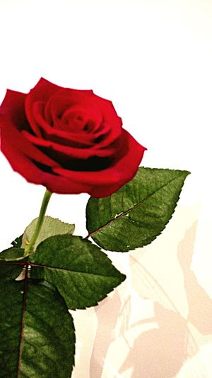 Roses Rouge Amour Love