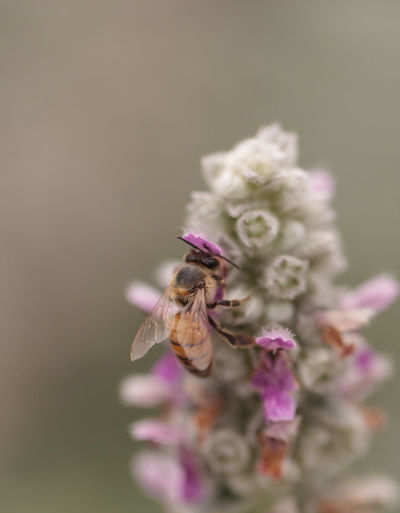 Honeybee, Apis mellifera, gathers pollen on a flower in spring in Southern California, United States. Apis Melifera Apis Mellifera Bee Cleveland Sage Flower Flowers HoneyBee Insect Nature Pollen Pollenate Pollenator Purple Flower Sage Wildflower Wildlife