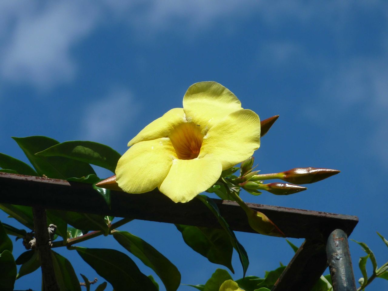 Thunbergia alata. Schwarzäugige Susanne. Yellow flower in front of blue sky Climbing Plant Yellow Yellow Flower Yellow Color Rusty Frame Yellow And Blue Plants 🌱 Flowers, Nature And Beauty Flower Photography Copy Space