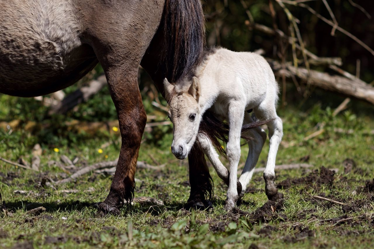 And another Newly Born Konik Foal Horse Animal Themes Domestic Animals Mammal Livestock Day Grazing No People One Animal Outdoors Nature Full Length Grass Close-up