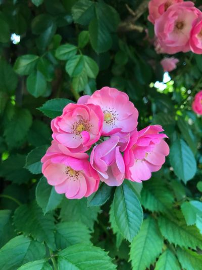 Flower Pink Color Petal Beauty In Nature Fragility Flower Head No People Rose - Flower Outdoors Close-up Day