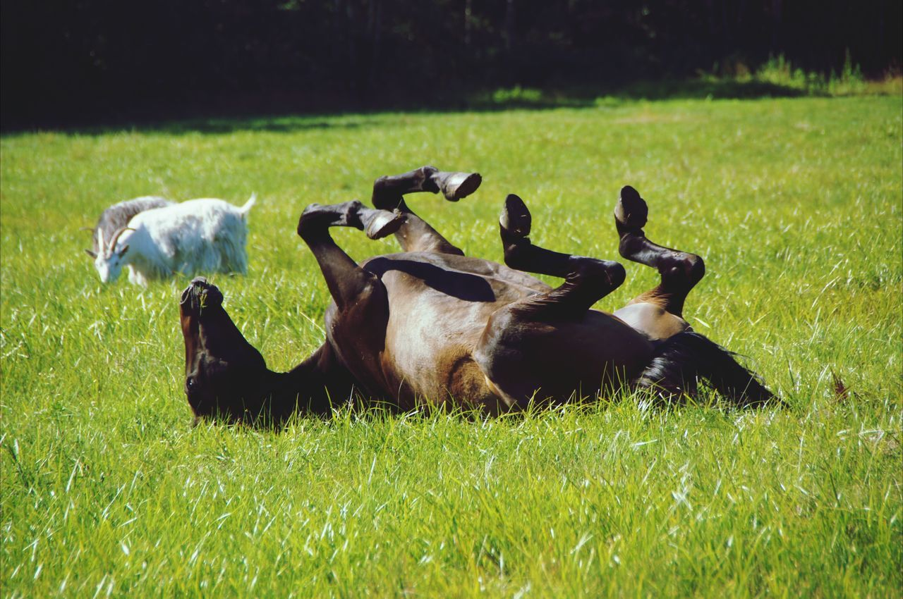Beautiful stock photos of goat, Day, Domestic Animals, Goat, Grass