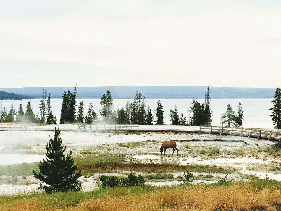 Travel Photography National Park Hotsprings Deer Trees Yellowstone Lake Mobilephotography