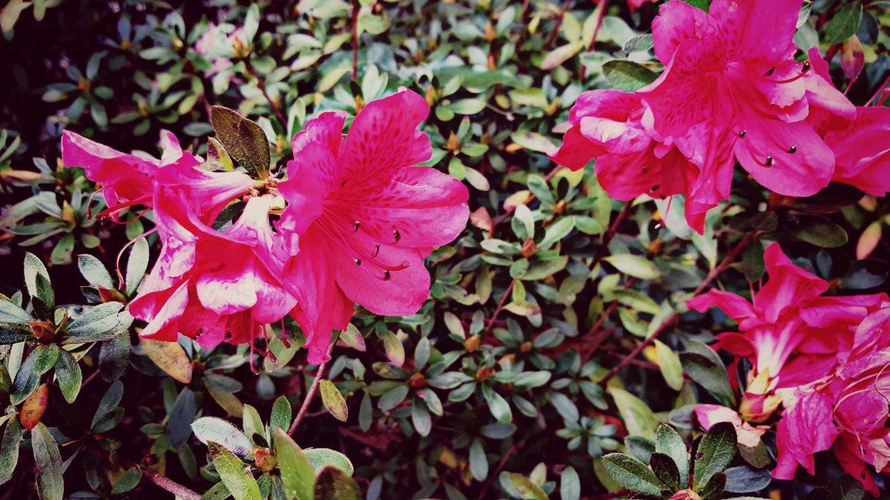 Flowers,Plants & Garden Winter Blooms Azaleas