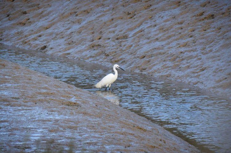 Little Egret fishing Bird Outdoors Nature Wildlife Photography Heron Little Egret River River Adur Lancing  Shoreham Fishing